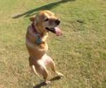 Faith, the Two-Legged Dog